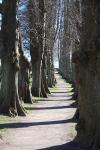 Sieseby - Lindenallee auf dem Friedhof - Foto: Ulli Erichsen (2012)