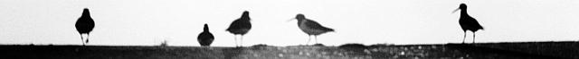 Hallig Hooge - Austernfischer - Foto: Manfred Rakoschek (1968)