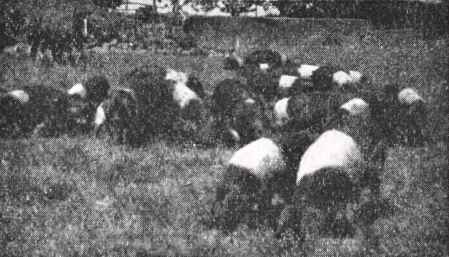Angler Sattelschweine (1954)