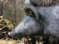 Angler Sattelschweine  - Foto: Michaela Bielke (29.05.2014)