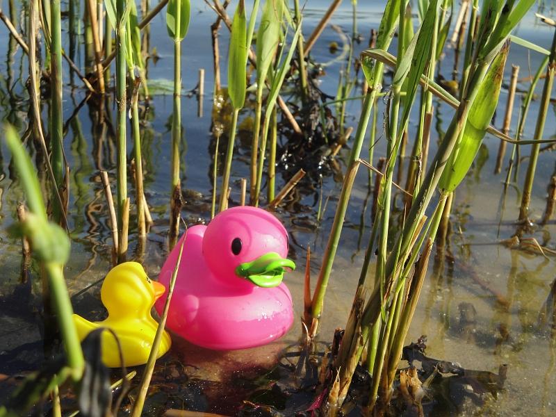 Enten auf der Schlei - Foto: Michaela Bielke (2013)